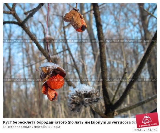 Куст бересклета бородавчатого (по латыни Euonymus verrucosa Scop), фото № 181140, снято 2 января 2008 г. (c) Петрова Ольга / Фотобанк Лори