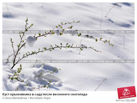 Куст крыжовника в саду после весеннего снегопада, фото № 222208, снято 1 мая 2007 г. (c) Алла Матвейчик / Фотобанк Лори
