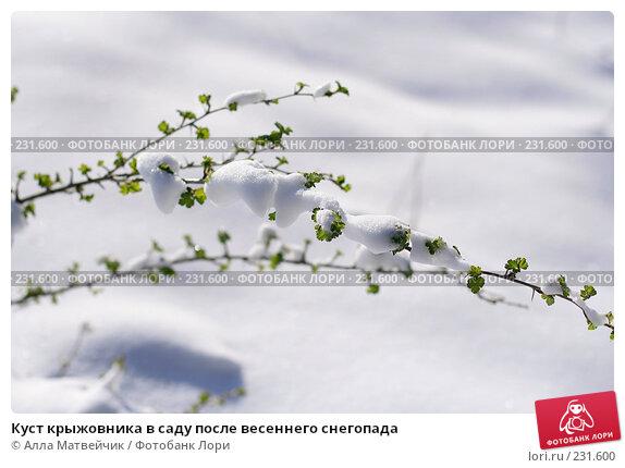 Куст крыжовника в саду после весеннего снегопада, фото № 231600, снято 1 мая 2007 г. (c) Алла Матвейчик / Фотобанк Лори