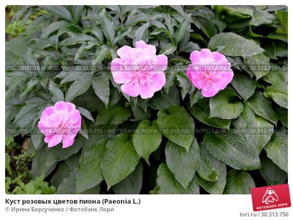 Купить «Куст розовых цветов пиона (Paeonia L.)», фото № 30313756, снято 2 июня 2016 г. (c) Ирина Борсученко / Фотобанк Лори