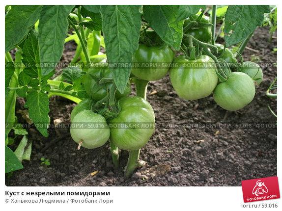 Куст с незрелыми помидорами, фото № 59016, снято 7 июля 2007 г. (c) Ханыкова Людмила / Фотобанк Лори