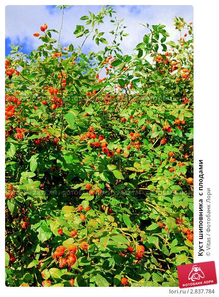 Куст шиповника  с плодами. Стоковое фото, фотограф Vitas / Фотобанк Лори