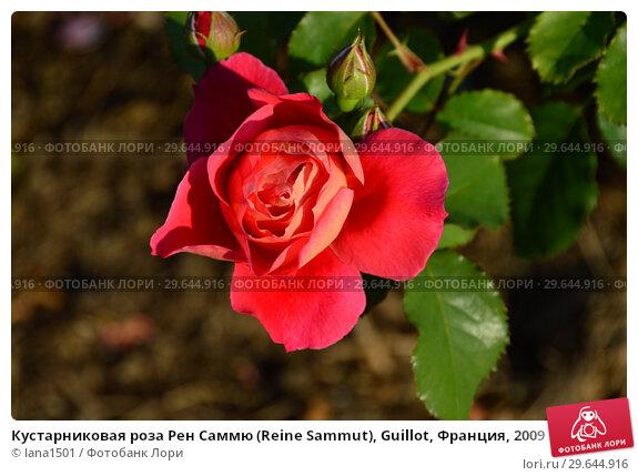 Купить «Кустарниковая роза Рен Саммю (Reine Sammut), Guillot, Франция, 2009», эксклюзивное фото № 29644916, снято 13 июля 2015 г. (c) lana1501 / Фотобанк Лори