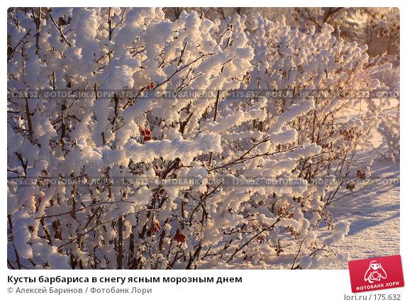 Кусты барбариса в снегу ясным морозным днем, фото № 175632, снято 9 января 2008 г. (c) Алексей Баринов / Фотобанк Лори