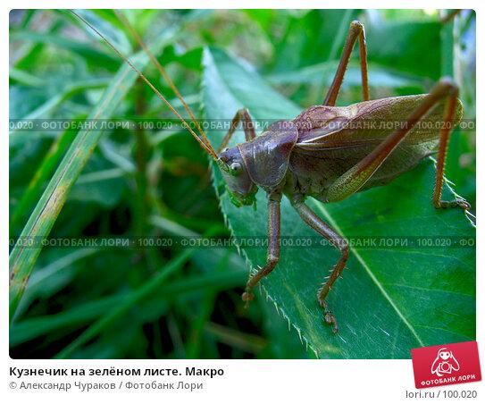 Кузнечик на зелёном листе. Макро, фото № 100020, снято 10 сентября 2005 г. (c) Александр Чураков / Фотобанк Лори