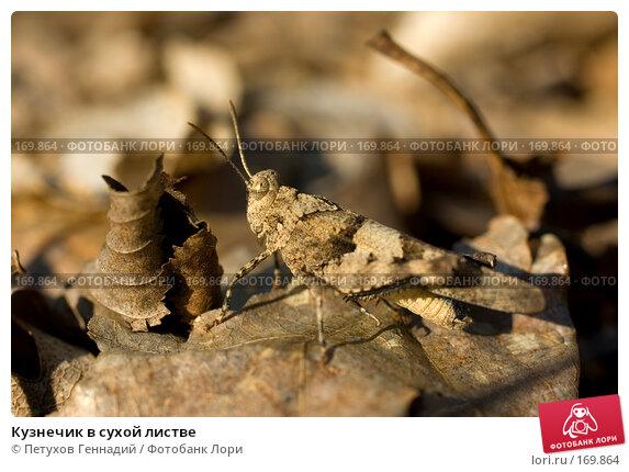 Купить «Кузнечик в сухой листве», фото № 169864, снято 12 августа 2007 г. (c) Петухов Геннадий / Фотобанк Лори