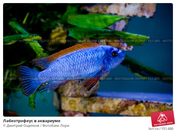 Лабеотрофеус в аквариуме, фото № 151680, снято 17 марта 2007 г. (c) Дмитрий Ощепков / Фотобанк Лори