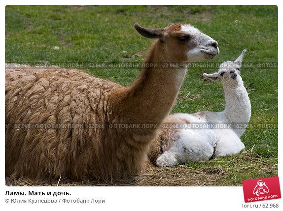 Ламы. Мать и дочь., фото № 62968, снято 5 июня 2007 г. (c) Юлия Кузнецова / Фотобанк Лори