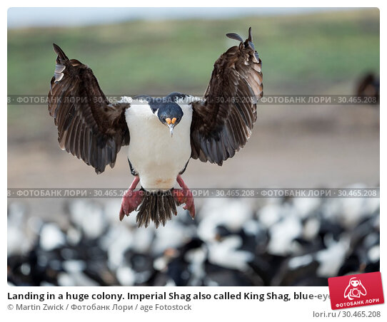 Landing in a huge colony. Imperial Shag also called King Shag, blue-eyed Shag, blue-eyed Cormorant (Phalacrocorax atriceps or Leucarbo atriceps). South America, Falkland Islands, January. Стоковое фото, фотограф Martin Zwick / age Fotostock / Фотобанк Лори