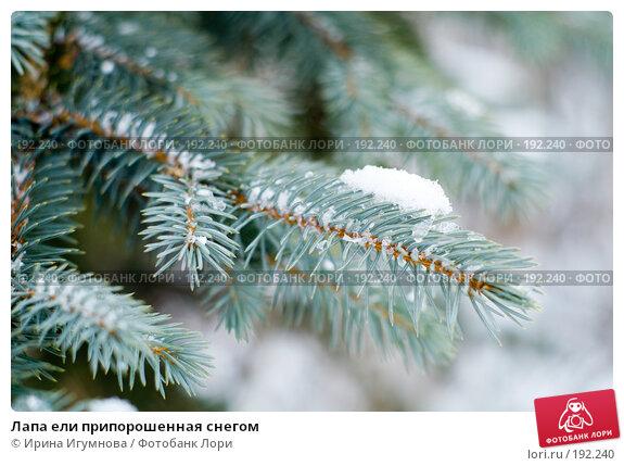 Купить «Лапа ели припорошенная снегом», фото № 192240, снято 19 декабря 2007 г. (c) Ирина Игумнова / Фотобанк Лори