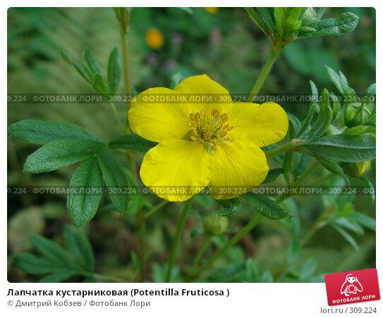 Лапчатка кустарниковая (Potentilla Fruticosa ), фото № 309224, снято 24 сентября 2006 г. (c) Дмитрий Кобзев / Фотобанк Лори