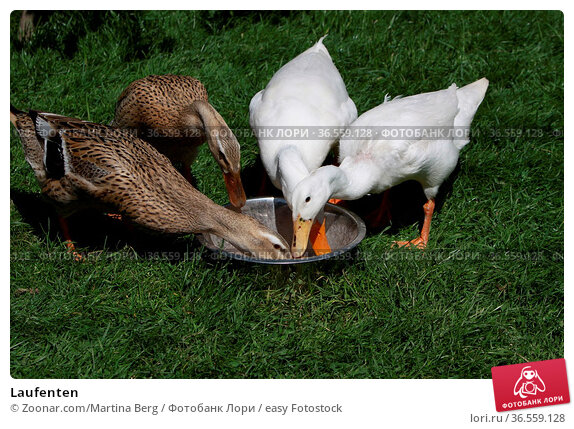 Laufenten. Стоковое фото, фотограф Zoonar.com/Martina Berg / easy Fotostock / Фотобанк Лори