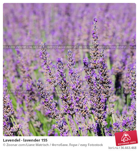 Lavendel - lavender 155. Стоковое фото, фотограф Zoonar.com/Liane Matrisch / easy Fotostock / Фотобанк Лори