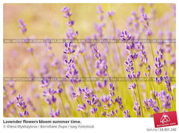 Lavender flowers bloom summer time. Стоковое фото, фотограф Olena Mykhaylova / easy Fotostock / Фотобанк Лори