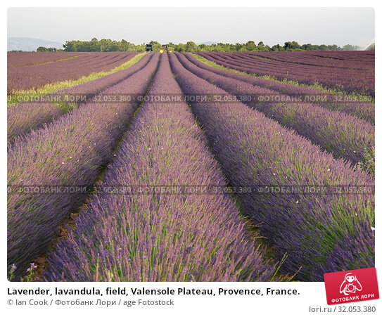 Lavender, lavandula, field, Valensole Plateau, Provence, France. Стоковое фото, фотограф Ian Cook / age Fotostock / Фотобанк Лори