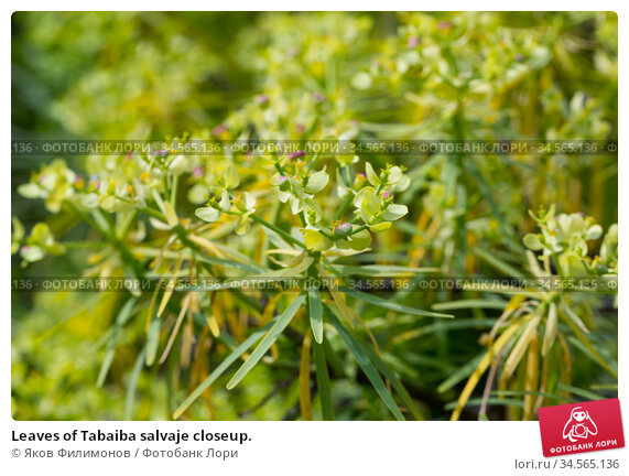 Leaves of Tabaiba salvaje closeup. Стоковое фото, фотограф Яков Филимонов / Фотобанк Лори