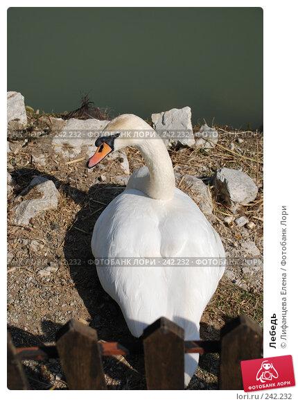 Лебедь, фото № 242232, снято 27 марта 2008 г. (c) Лифанцева Елена / Фотобанк Лори