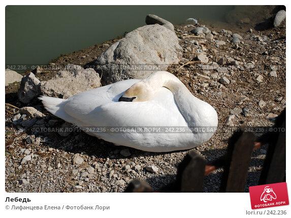 Лебедь, фото № 242236, снято 27 марта 2008 г. (c) Лифанцева Елена / Фотобанк Лори