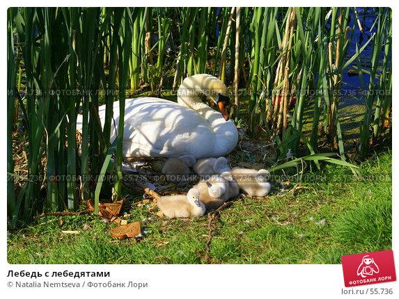 Лебедь с лебедятами, эксклюзивное фото № 55736, снято 5 мая 2007 г. (c) Natalia Nemtseva / Фотобанк Лори