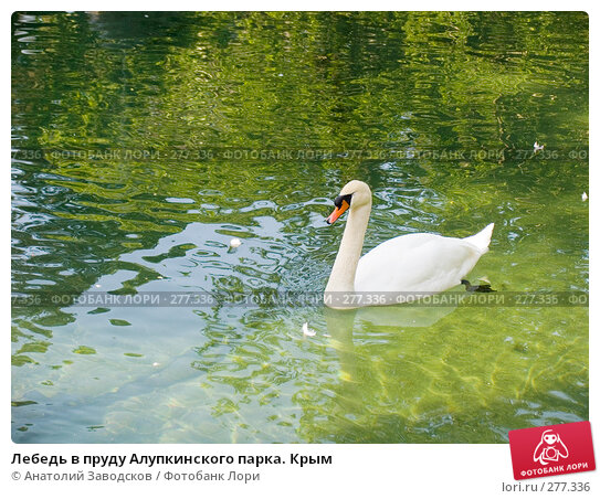 Лебедь в пруду Алупкинского парка. Крым, фото № 277336, снято 1 июня 2006 г. (c) Анатолий Заводсков / Фотобанк Лори