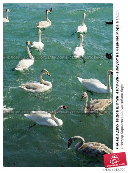 Лебеди двух видов шипун и кликун - зимуют на Черном море в Суджукской бухте, фото № 212720, снято 28 февраля 2008 г. (c) Федор Королевский / Фотобанк Лори