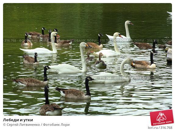 Лебеди и утки, фото № 316768, снято 8 июня 2008 г. (c) Сергей Литвиненко / Фотобанк Лори