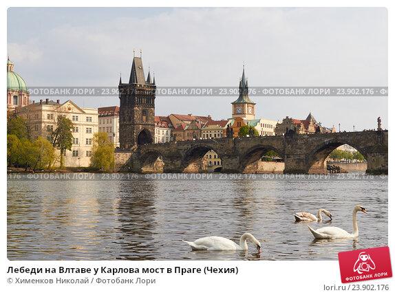 Купить «Лебеди на Влтаве у Карлова мост в Праге (Чехия)», фото № 23902176, снято 13 апреля 2014 г. (c) Хименков Николай / Фотобанк Лори