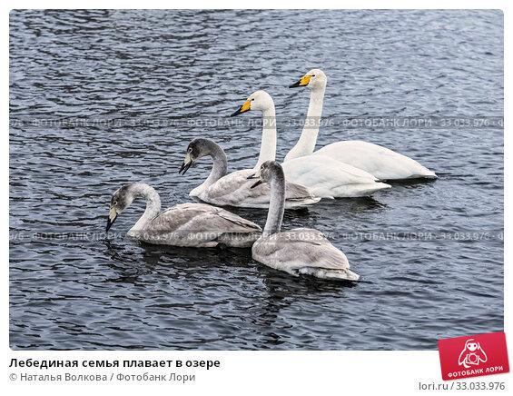 Купить «Лебединая семья плавает в озере», фото № 33033976, снято 25 января 2020 г. (c) Наталья Волкова / Фотобанк Лори