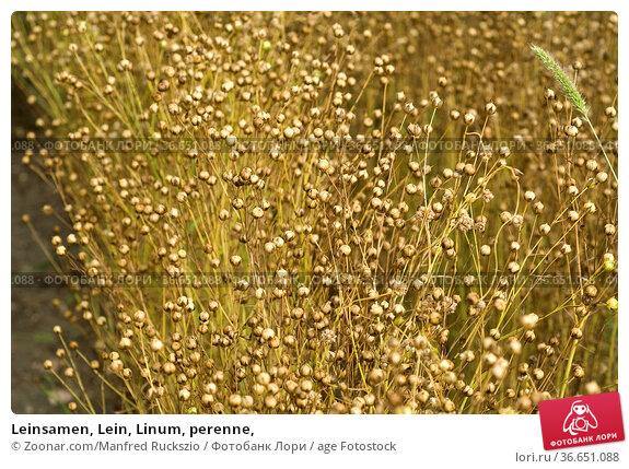 Leinsamen, Lein, Linum, perenne, Стоковое фото, фотограф Zoonar.com/Manfred Ruckszio / age Fotostock / Фотобанк Лори