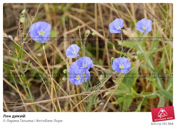 Лен дикий, фото № 61564, снято 30 июня 2007 г. (c) Ларина Татьяна / Фотобанк Лори