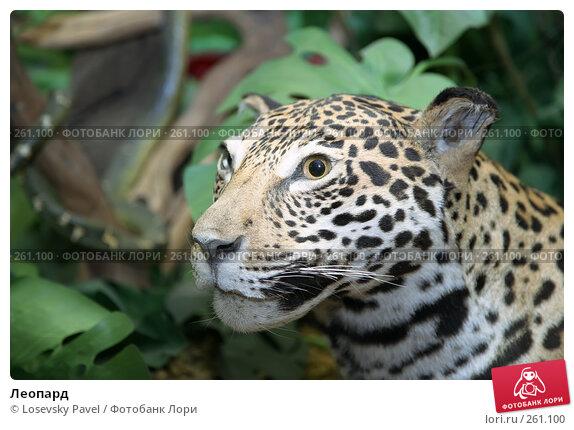 Купить «Леопард», фото № 261100, снято 24 ноября 2017 г. (c) Losevsky Pavel / Фотобанк Лори
