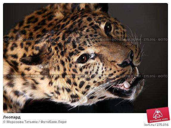 Леопард, фото № 275016, снято 3 мая 2008 г. (c) Морозова Татьяна / Фотобанк Лори