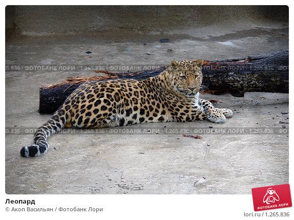 Купить «Леопард», фото № 1265836, снято 30 мая 2006 г. (c) Акоп Васильян / Фотобанк Лори