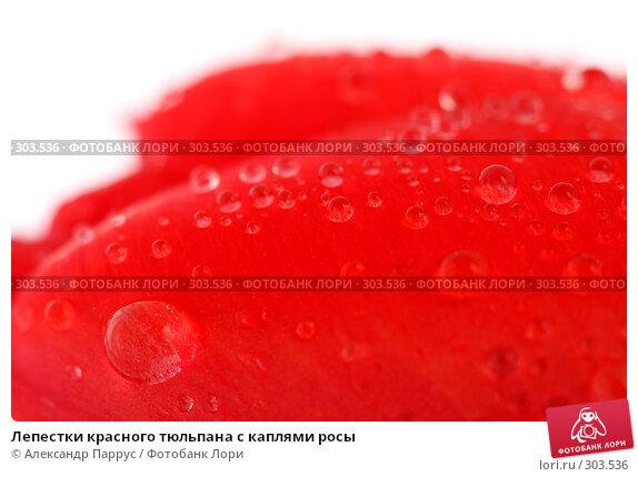 Лепестки красного тюльпана с каплями росы, фото № 303536, снято 21 апреля 2008 г. (c) Александр Паррус / Фотобанк Лори