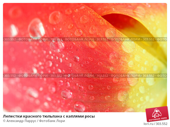 Лепестки красного тюльпана с каплями росы, фото № 303552, снято 21 апреля 2008 г. (c) Александр Паррус / Фотобанк Лори