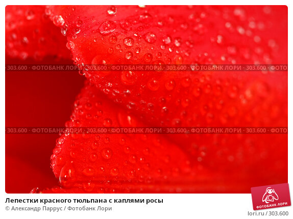 Лепестки красного тюльпана с каплями росы, фото № 303600, снято 21 апреля 2008 г. (c) Александр Паррус / Фотобанк Лори