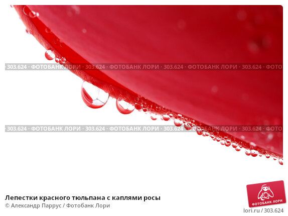 Купить «Лепестки красного тюльпана с каплями росы», фото № 303624, снято 21 апреля 2008 г. (c) Александр Паррус / Фотобанк Лори