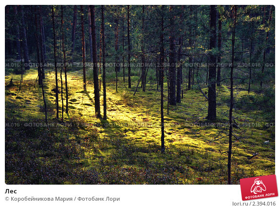 Лес. Стоковое фото, фотограф Коробейникова Мария / Фотобанк Лори