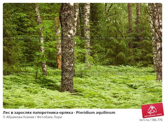 Лес в зарослях папоротника-орляка - Pteridium aquilinum, фото № 186776, снято 6 июля 2007 г. (c) Абрамова Ксения / Фотобанк Лори