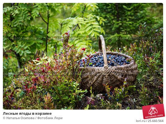 Купить «Лесные ягоды в корзине», фото № 25660564, снято 24 августа 2015 г. (c) Наталья Осипова / Фотобанк Лори