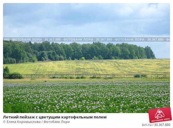Купить «Летний пейзаж с цветущим картофельным полем», фото № 30367880, снято 14 июля 2018 г. (c) Елена Коромыслова / Фотобанк Лори