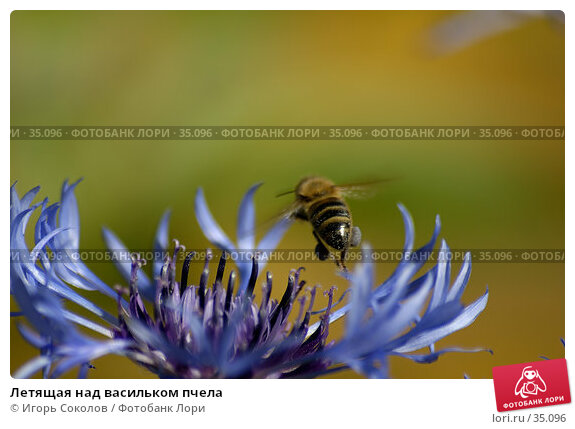 Летящая над васильком пчела, фото № 35096, снято 25 июля 2017 г. (c) Игорь Соколов / Фотобанк Лори