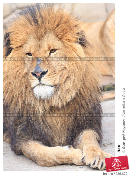Купить «Лев», эксклюзивное фото № 286672, снято 26 апреля 2008 г. (c) Дмитрий Неумоин / Фотобанк Лори