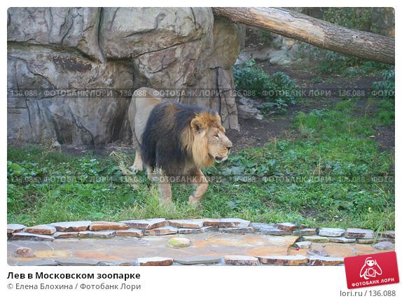 Лев в Московском зоопарке, фото № 136088, снято 2 октября 2007 г. (c) Елена Блохина / Фотобанк Лори
