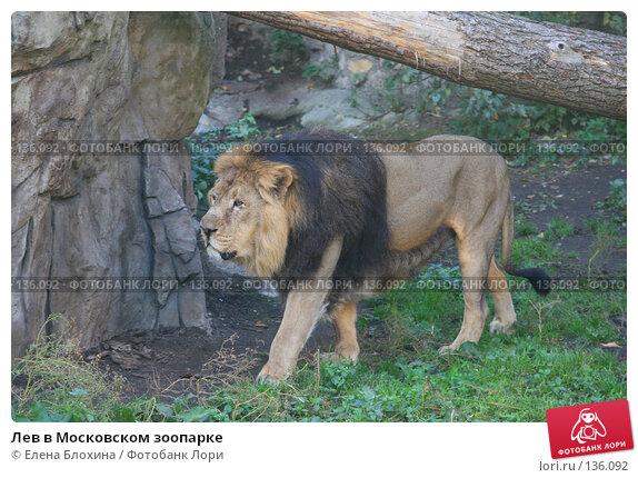 Лев в Московском зоопарке, фото № 136092, снято 2 октября 2007 г. (c) Елена Блохина / Фотобанк Лори