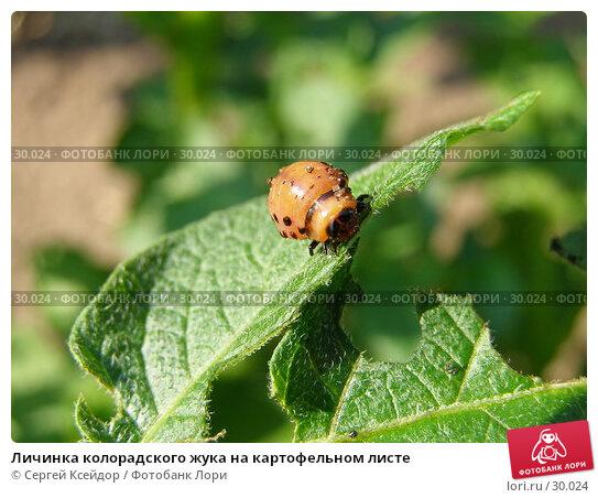 Купить «Личинка колорадского жука на картофельном листе», фото № 30024, снято 18 июля 2006 г. (c) Сергей Ксейдор / Фотобанк Лори