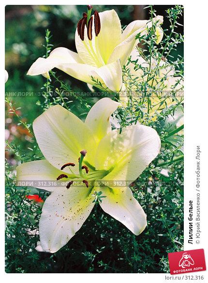 Лилии белые, фото № 312316, снято 23 апреля 2017 г. (c) Юрий Василенко / Фотобанк Лори