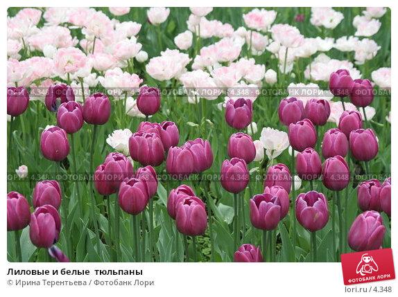 Лиловые и белые  тюльпаны, эксклюзивное фото № 4348, снято 29 мая 2006 г. (c) Ирина Терентьева / Фотобанк Лори