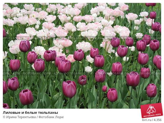Купить «Лиловые и белые тюльпаны», эксклюзивное фото № 4356, снято 29 мая 2006 г. (c) Ирина Терентьева / Фотобанк Лори