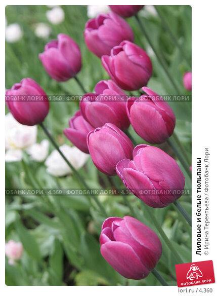 Лиловые и белые тюльпаны, эксклюзивное фото № 4360, снято 29 мая 2006 г. (c) Ирина Терентьева / Фотобанк Лори